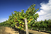 Grape Leaves Photos - Cabernet Grape Rows by Craig Lovell