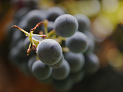 Cabernet Photo Prints - Cabernet Sauvignon Print by Irina Wardas