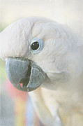 White Cockatoo Photos - Cacatua moluccensis - Moluccan Cockatoo by Sharon Mau