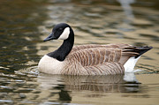 Floating In Water Prints - Cackling Goose Print by Sharon  Talson