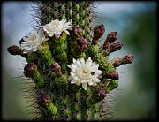 Organ Photo Posters - Cacti Bouquet  Poster by Saija  Lehtonen