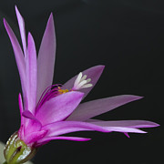 Schlumbergera Art - Cactus bloom by Shirley Mitchell