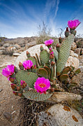 Desert Plants Photos - Cactus Blooms by Peter Tellone