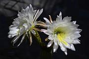 Xueling Zou - Cactus Blossom 10