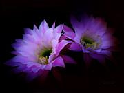 Xueling Zou - Cactus Blossom 7