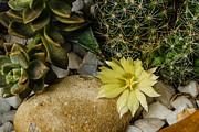 Allen Sheffield - Cactus Flower