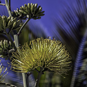 Lynn Palmer - Cactus Flower Honey Bee