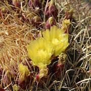 Cactus Flower In Bloom Print by Mike McGlothlen
