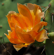 Toma Caul - Cactus Flower in Orange
