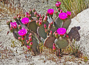 Cactus Flowers Print by Gregory Dyer