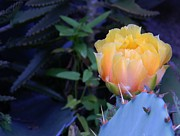 Peach Originals - Cactus Light 2 by Warren Thompson