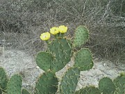 Chris Melaga - Cactus With Yellow...