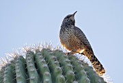 David Rizzo Posters - Cactus wren Poster by David Rizzo