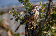 Perching Framed Prints - Cactus Wren Framed Print by Robert Bales