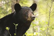 Rhonda McClure - Cades Cove Black Bear