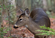 Douglas Stucky - Cades Cove Doe
