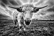 Horn Framed Prints - Cadzow White Cow Female Framed Print by John Farnan