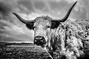 Longhorn Photo Framed Prints - Cadzow White Cow Framed Print by John Farnan