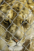 LeeAnn McLaneGoetz McLaneGoetzStudioLLCcom - Caged Liger