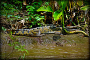 Caiman Cocodilus Print by Gary Keesler