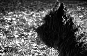 Cairn Terrier Photos - Cairn Head Study by Susan Herber