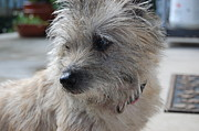 Cairn Terrier Photos - Cairn Terrier by Colette Frantz Photography