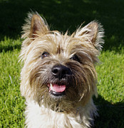 Cairn Terrier Photos - Cairn Terrier by Gwen Card