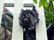 Nicki Bennett - Cairn Terrier