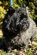 Cairn Terrier Photos - Cairn Terrier Portrait by Susan Herber