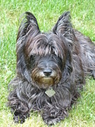 Cairn Terrier Photos - Cairn Terrier  Sasha by Nicki Bennett