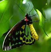 Saheed Prints - Cairns Birdwing Butterfly 3 Print by Margaret Saheed