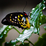Cairns Prints - Cairns Birdwing Butterfly Print by David Patterson