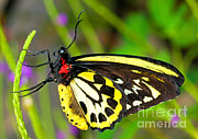 Papilionidae Prints - Cairns Birdwing Butterfly Print by Millard H. Sharp
