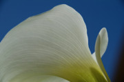 Calla Lilly Posters - Cala Lilly 11 Poster by Ron White