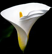 Cala Flower Framed Prints - Cala Lily Framed Print by Eddie Yerkish