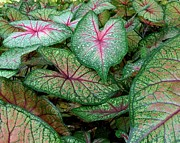 Chad and Stacey Hall - Caladiums