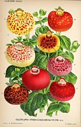 Medical Drawings - Calceolaria from a vintage Belgian book of flora. by Unknown