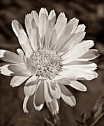 Brown Toned Art Framed Prints - Calendula Framed Print by Chris Berry