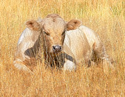 Sleeping Animal Posters - Calf Sleeping in Golden Grass Poster by Jennie Marie Schell