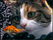 Calico Cat And The Goldfish Print by Kipp Baker