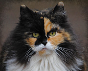 Long Haired Cat Posters - Calico Cat Poster by Jai Johnson
