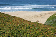 Half Moon Bay Metal Prints - California Beach with Ice Plant Metal Print by Carol Groenen