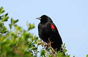 Susan Wiedmann Metal Prints - California Bi-Colored Blackbird Metal Print by Susan Wiedmann