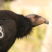 Bob and Jan Shriner - California Condor