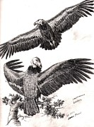 Vulture Drawings Metal Prints - California Condor Study Metal Print by Evan  Jenkins
