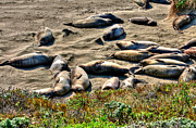 Elephant Seals Metal Prints - California Dreaming Metal Print by Jim Carrell