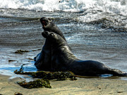 Elephant Seals Metal Prints - California - Elephant Seals of Big Sur 006 Metal Print by Lance Vaughn