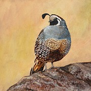 California Quail Paintings - California Gold by Catherine Temple