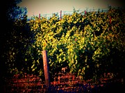 California Vineyard Prints - California Grape Vines Print by Joyce  Kimble Smith