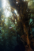Greg Amptman - California Kelp Forest